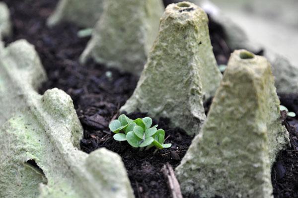 semis boite oeuf